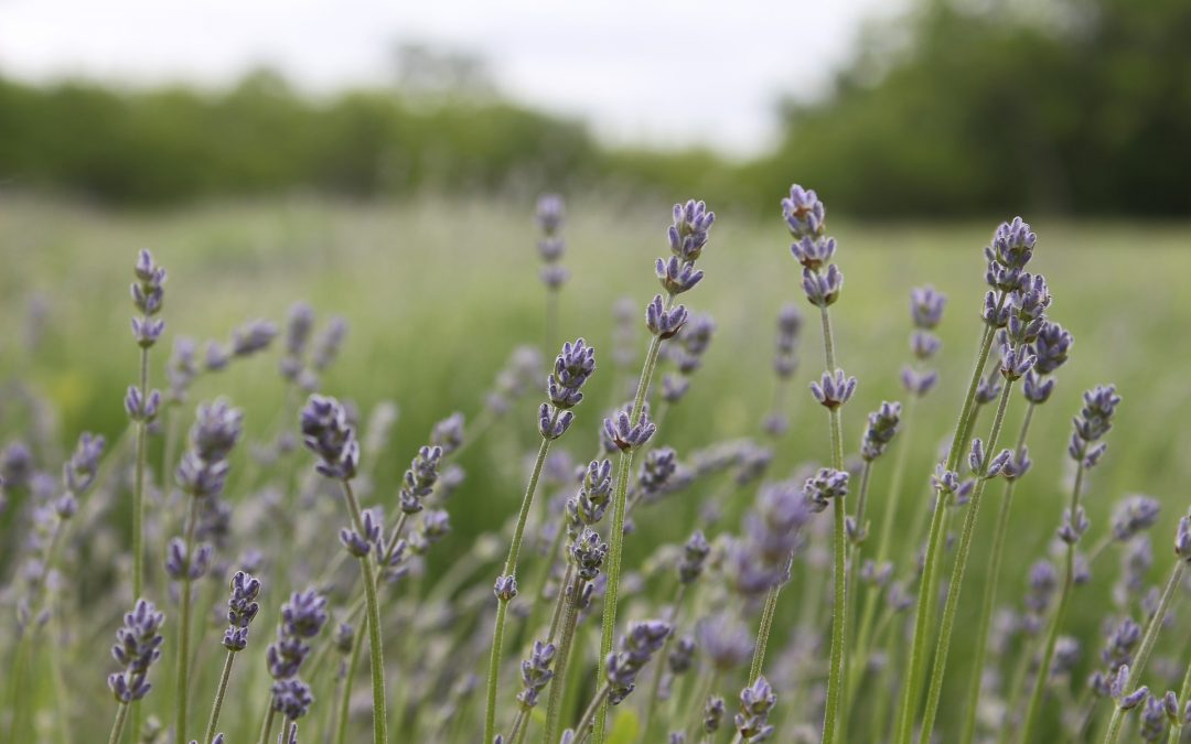 Beyond Lavender – Essential Oils for Soothing Stress
