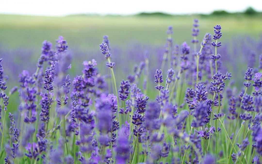 Using Lavender Essential Oil to Prevent Migraines